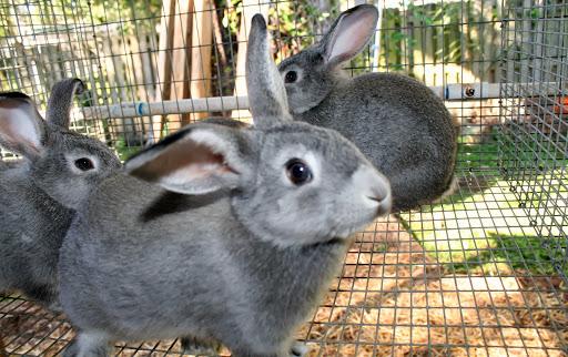 Chinchilla Rabbit Kit Chinchilla Meat Rabbits